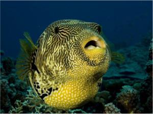 Зубы людей имеют общие гены с зубами рыбы фугу