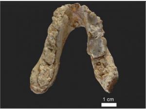 Окаменелости зубов и челюсти указывают на ранних предков человека